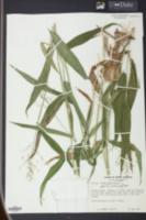 Panicum clandestinum image