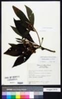 Vernonia jonesii image
