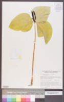 Trillium angustipetalum image