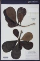 Casasia clusiifolia image