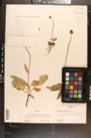 Eryngium bonplandii image