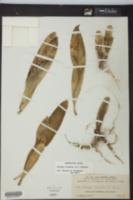 Brassia caudata image