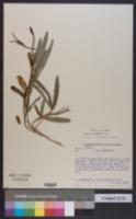 Image of Clitoria guianensis
