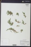 Selaginella peruviana image