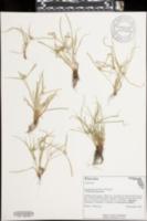 Cyperus metzii image