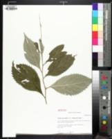 Image of Solidago flaccidifolia