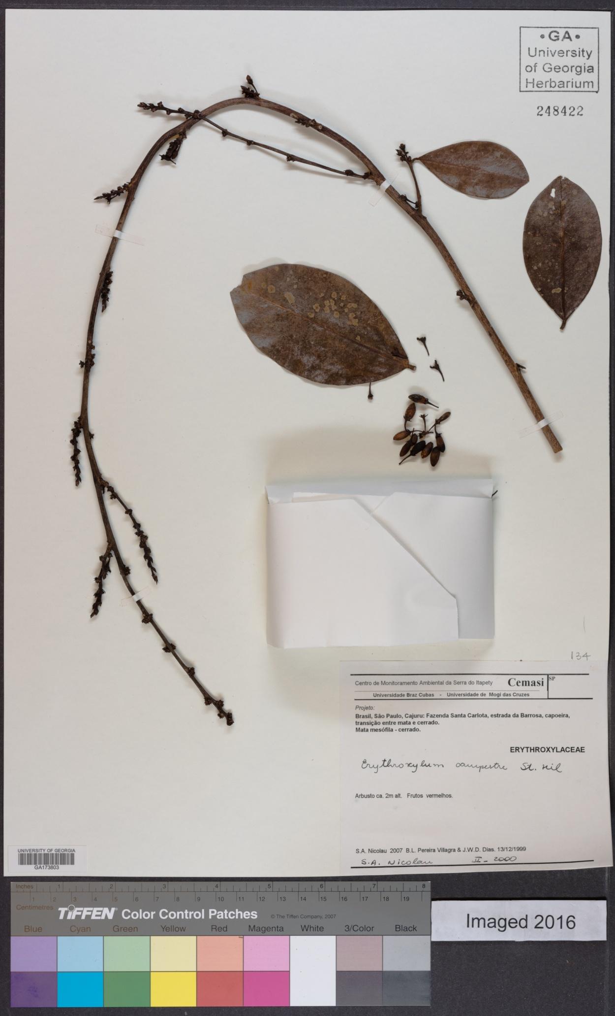 Erythroxylum campestre image