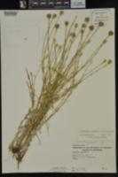 Petrorhagia prolifera image