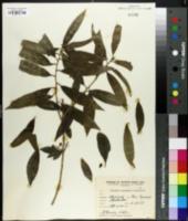 Image of Cestrum euanthes