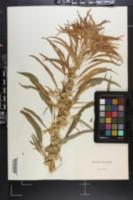 Image of Amaranthus salicifolius