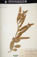 Image of Microgramma geminata