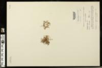 Image of Houstonia pygmaea