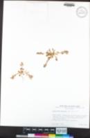 Calyptridium monandrum image