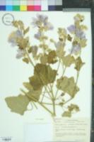 Lavatera thuringiaca image