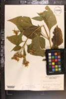 Verbesina occidentalis image