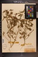 Croton glandulosus image