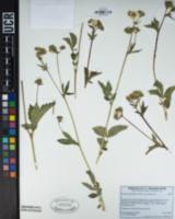 Drymocallis glandulosa var. glandulosa image