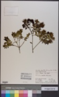 Image of Veronica diosmifolia