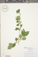 Viburnum prunifolium image