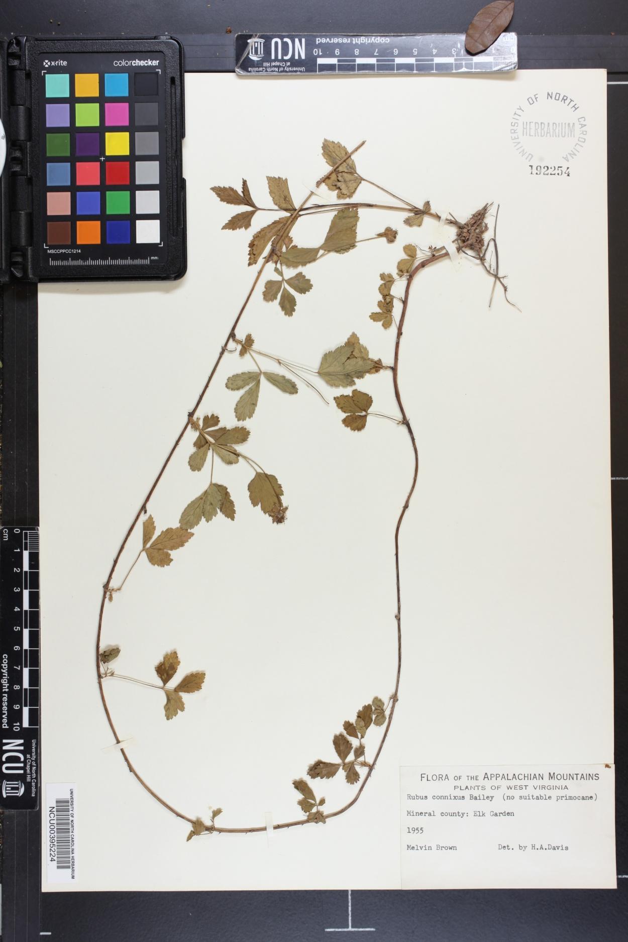 Rubus connixus image