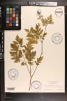 Osmorhiza claytoni image