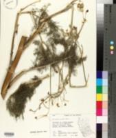 Foeniculum vulgare image