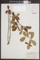 Image of Rubus enslenii
