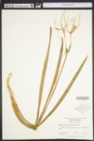 Image of Hymenocallis crassifolia
