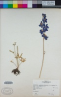 Delphinium variegatum image