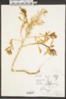 Cakile harperi image