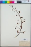 Image of Mimosa panamensis