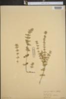 Clinopodium alpinum image
