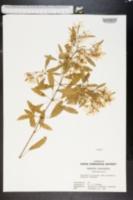 Image of Euphorbia leucocephala