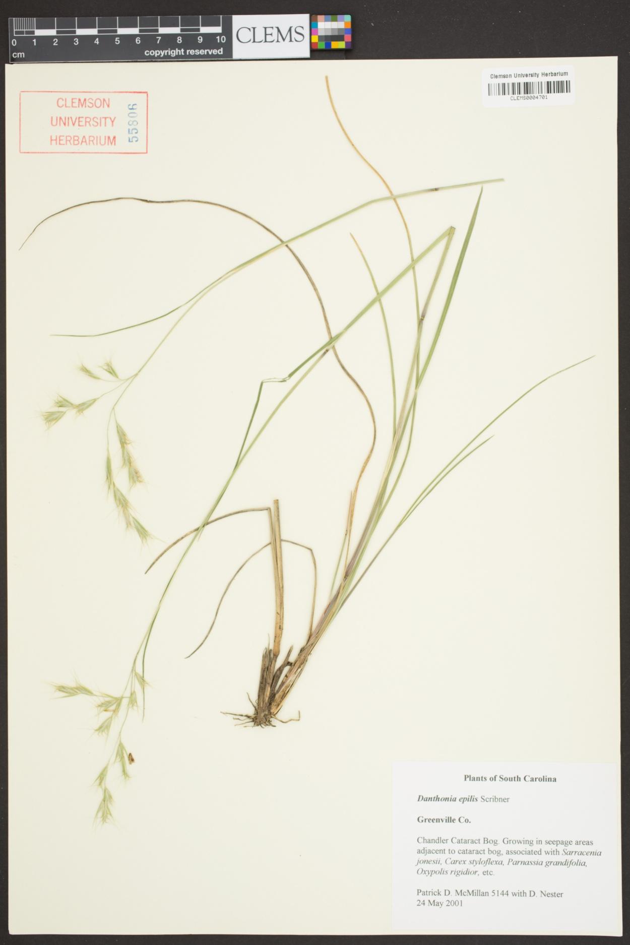 Danthonia epilis image