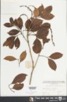 Image of Engelhardtia chrysolepis