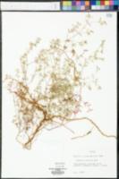 Euphorbia cumulicola image