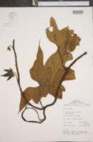 Image of Dioscorea trifida
