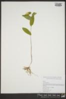 Uvularia perfoliata image