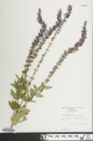Image of Salvia x superba