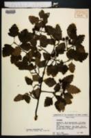 Image of Crataegus pulcherrima