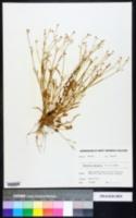 Ranunculus laxicaulis image