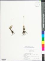Phemeranthus teretifolius image