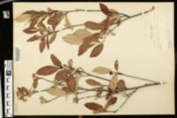 Image of Amelanchier oblongifolia