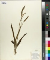Image of Sagittaria ambigua