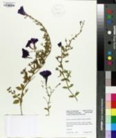 Petunia integrifolia image
