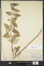 Pycnanthemum incanum image