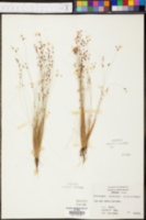 Bulbostylis capillaris image