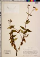 Image of Calceolaria irazuensis