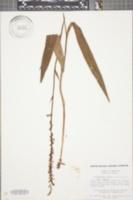 Platanthera flava var. flava image