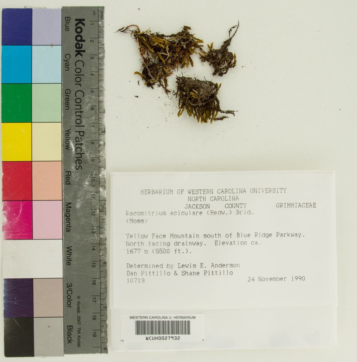 Codriophorus aciculare image